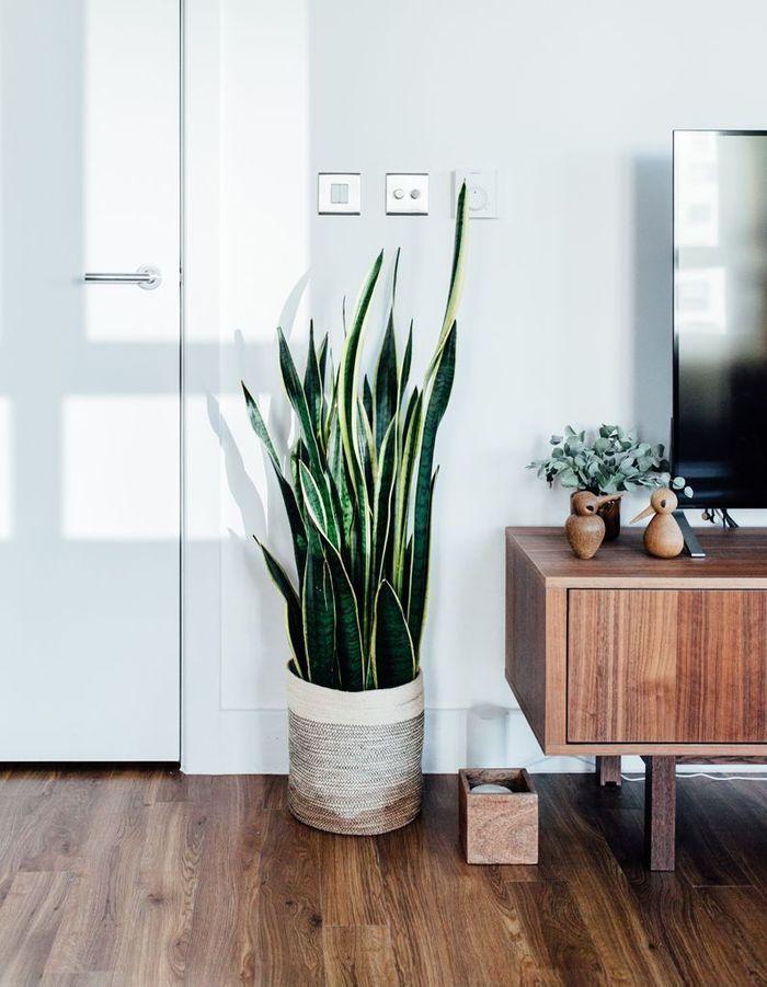 La plante idéale pour la Balance : la sansevieria (ou langue de belle-mère)