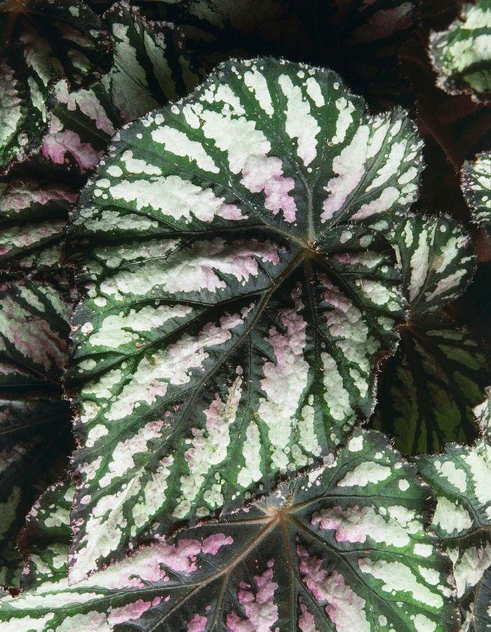 La plante idéale pour le Verseau : le bégonia rex