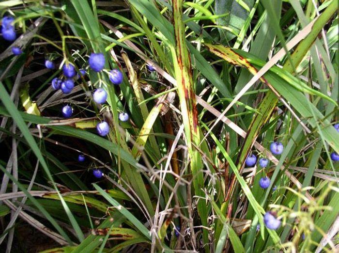 Liliaceae Dianella Tasmanica