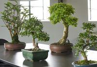 Zoom sur une plante résolument japonaise : le Bonsaï