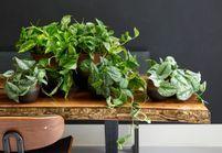 Zoom sur une plante résolument purifiante : le Scindapsus