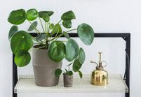 Zoom sur une plante résolument design : le Pilea Peperomioides