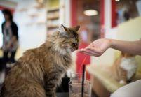 Le Café des chats bientôt ouvert à Paris