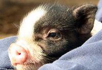 Le nouvel ami de Paris Hilton ? Un cochon de compagnie !