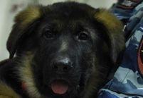 Assaut de Saint-Denis : Dobrynya, la remplaçante de la chienne Diesel, arrive bientôt en France