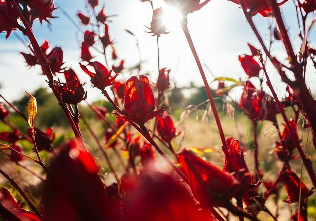 #ELLEdécouvre : la fleur d'hibiscus, des champs au soin de beauté