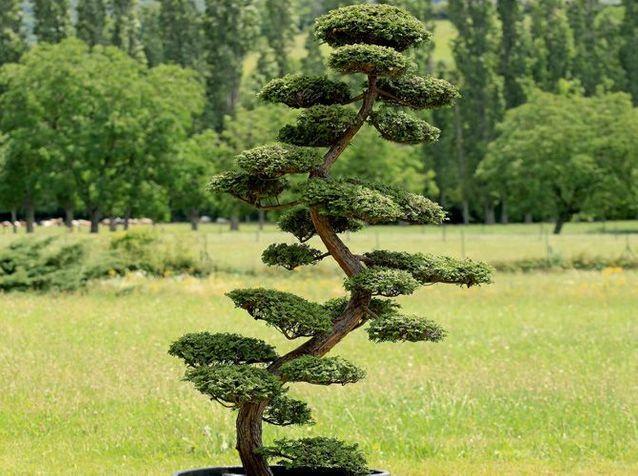 Comment tailler ses arbres en nuage?