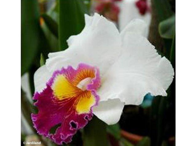 Orchidée : découvrez les différentes variétés de cette jolie ...