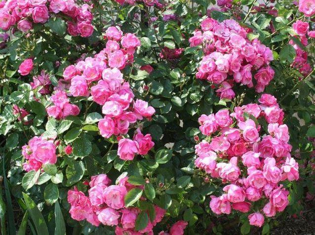 La floraison du rosier Angela
