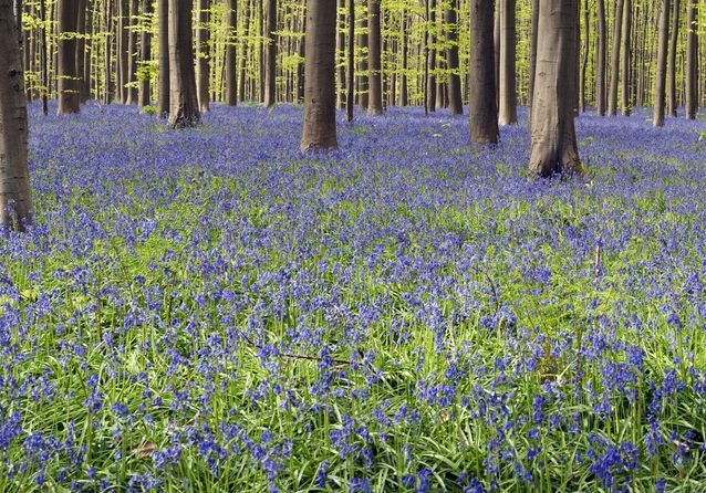 La forêt d'Hallerbos, en Belgique