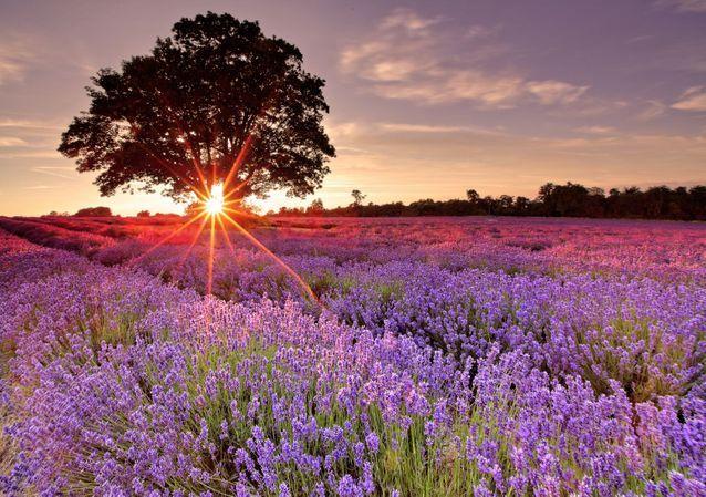 En Provence, sur le Plateau de Valensole