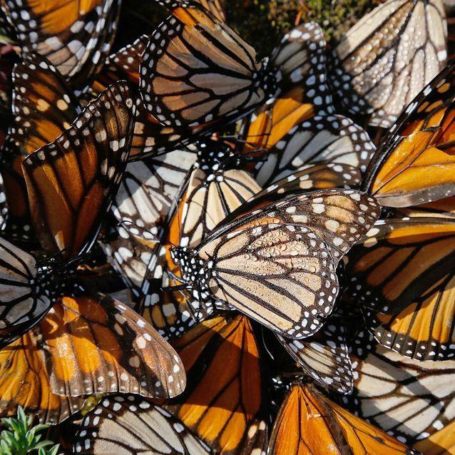 Le cycle des papillons monarque