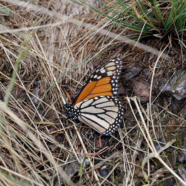 Un papillon à terre