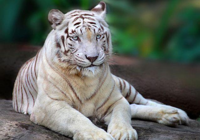 Un tête-à-tête avec les tigres blancs d'Asie