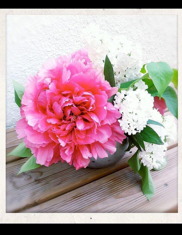Pivoines fleurs