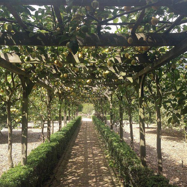 Sous les citronniers
