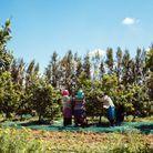 La cueillette de la fleur d'oranger