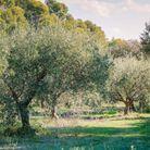 L'oliveraie compte 1500 pieds