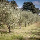 L'oliveraie de Saint-Bonnet du Gard
