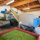 Les olives sont acheminées vers le moulin de Cante Perdrix