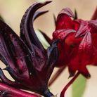 Le calice de l'hibiscus sabdariffa