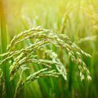 Anticernes naturel à l'huile végétale de son de riz