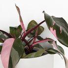Le Philodendron Erubescens
