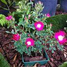 2. Rosa arkansana