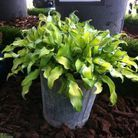 3. Hosta 'Ripple effect'