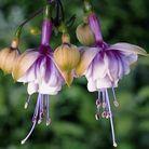 Les fuchsias blancs et violets