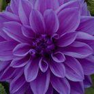 Dahlia violet