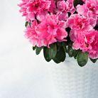 La plante idéale pour la Vierge : l'azalée