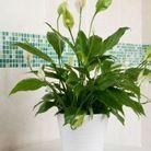 La plante idéale pour le Cancer : la fleur de lys