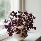 L'oxalis triangularis