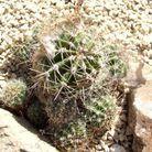 Cactaceae Echinopsis Sutschkee