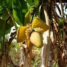 Musaceae Musa Basjoo