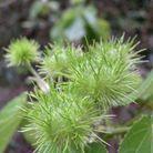 Tiliaceae Entelea Arborescens