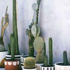 Multiplier les cactus dans de jolis cache-pots pour une déco végétale simple d'entretien