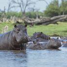 Un oeil sur les hippopotames