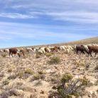 Saluer alpagas, vigognes et lamas