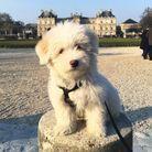 Ce bichon maltais qui veut visiter Paris.