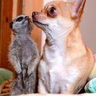 Ce jeune chihuahua dont le meilleur ami est un suricate.