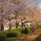 Les fleurs de cerisiers continuent d'illuminer la ville à la nuit tombée.