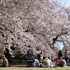 Malgré la pandémie, les Japonais ont tenu à organiser leur traditionnel pique-nique.